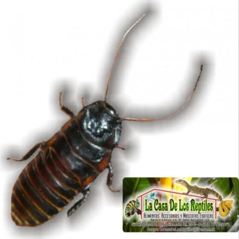 Cucaracha madagascar