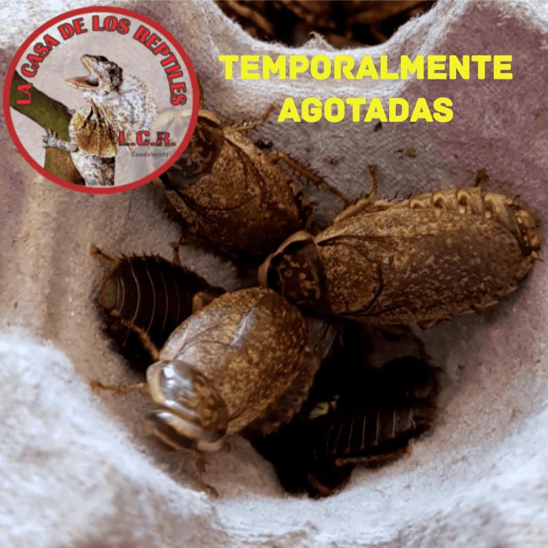 Cucaracha lobster