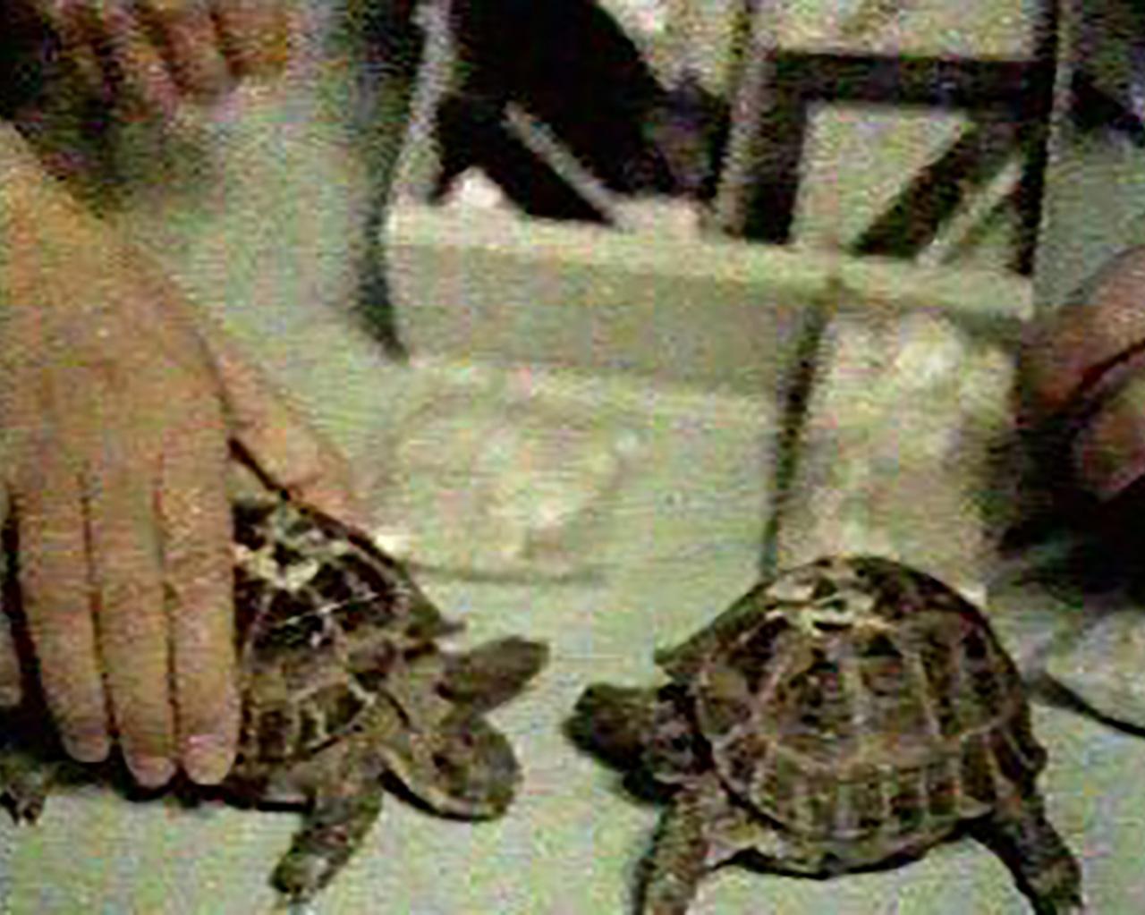 Las tortugas en la Luna
