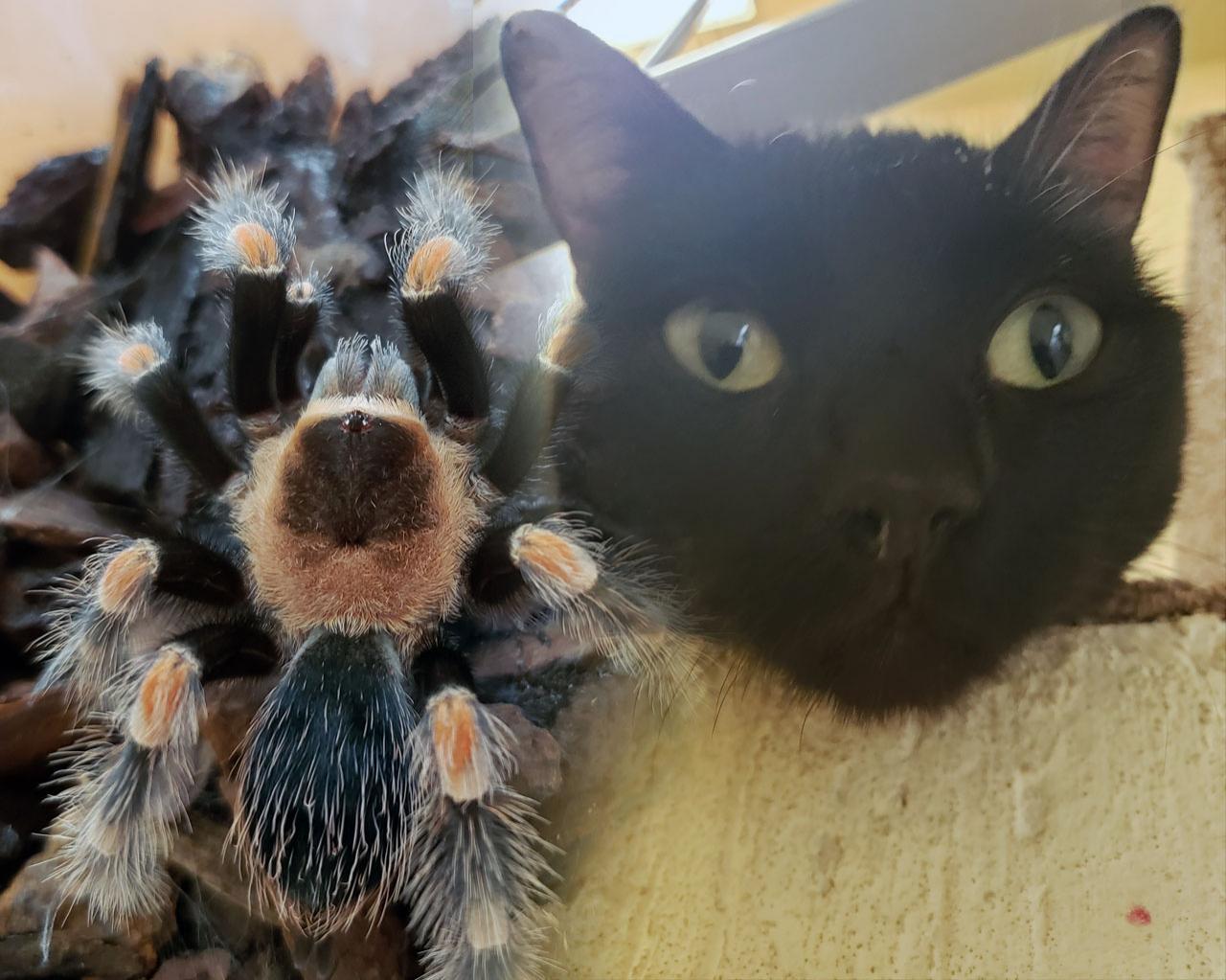 La curiosa relación entre tarántulas y gatos