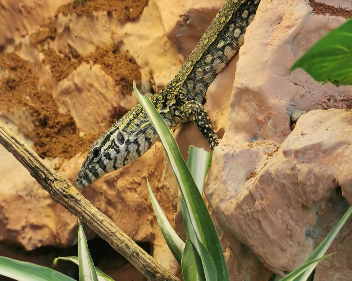 Niloticus