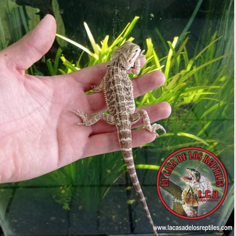 Dragon barbado 1
