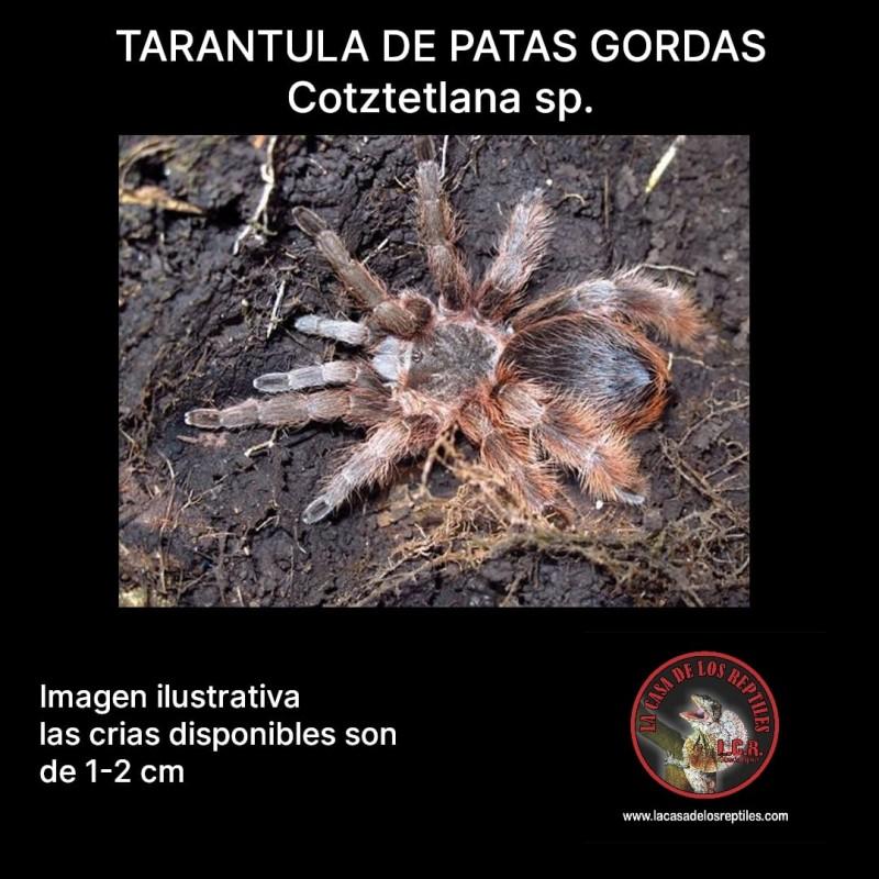 Tarantula patas gordas