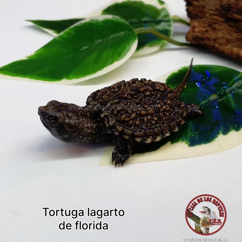 Tortuga lagarto de florida