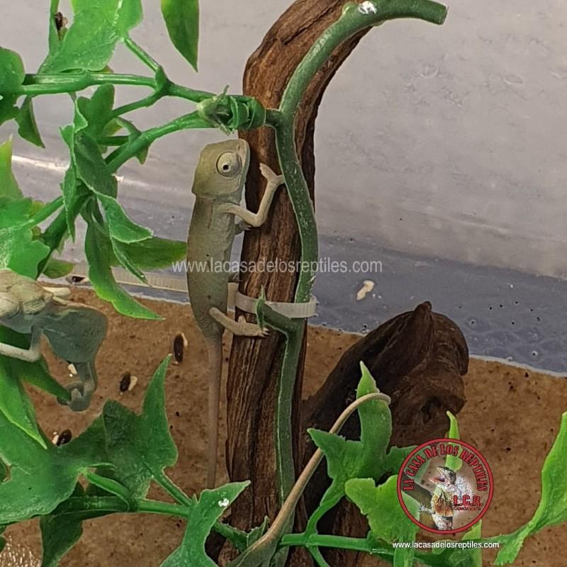 Camaleón de velo