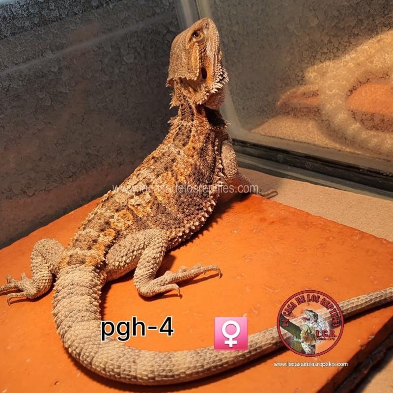 Dragón barbado