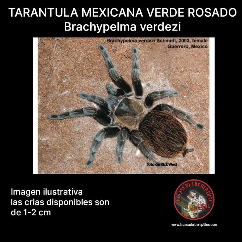 Tarantula Mexicana Verde Rosada