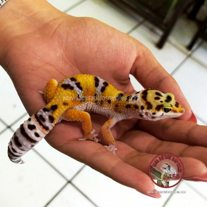 Gecko leopardo 2021