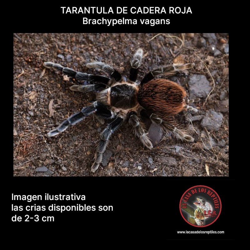 Tarantula cadera roja