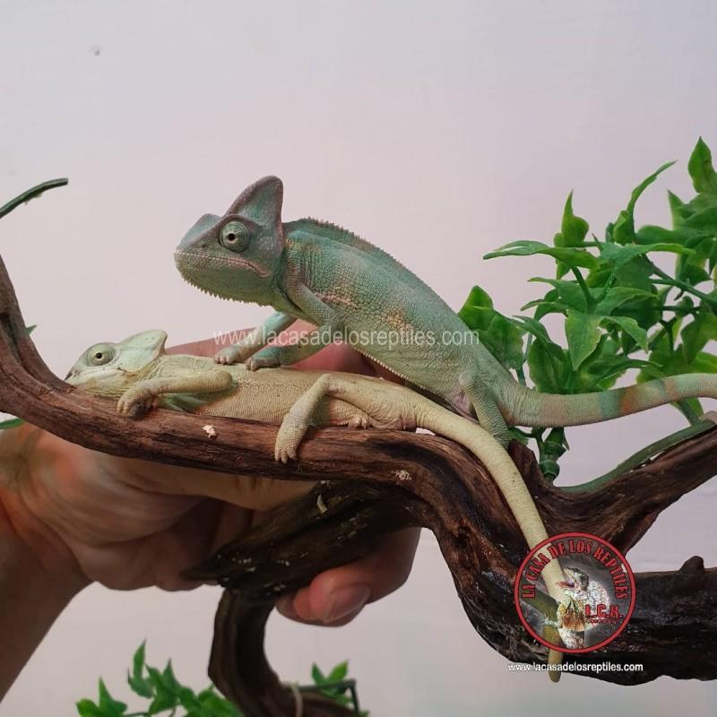 Camaleón de velo juvenil