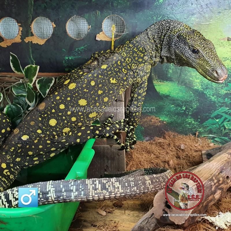Varano cocodrilo