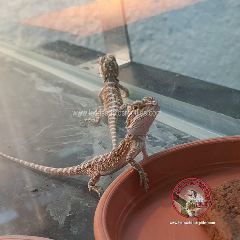 Dragon Barbado