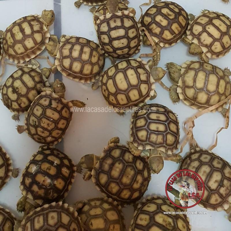 Tortuga sulcata  3 ejemplares
