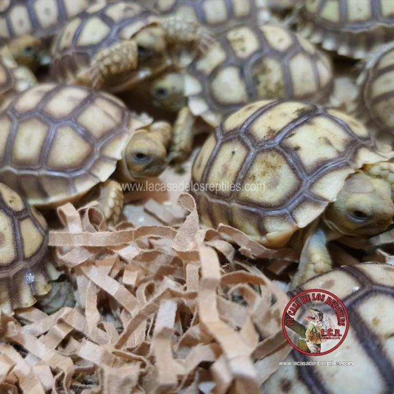 Tortuga sulcata 2 ejemplares